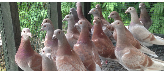 pigeon breeding stud